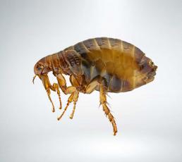 Fleas-Extermination