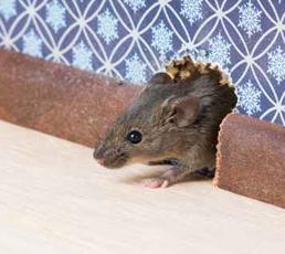 Mice-&-Rat-Control