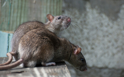Mice & Rat Control & Removal Services in Oakville